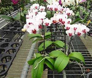 orchids in a nursery