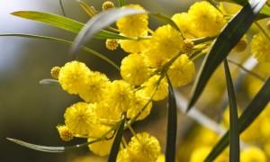 wattle flowers 2